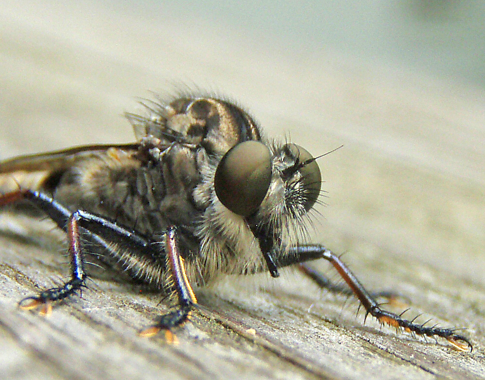 Asilid (robber fly)