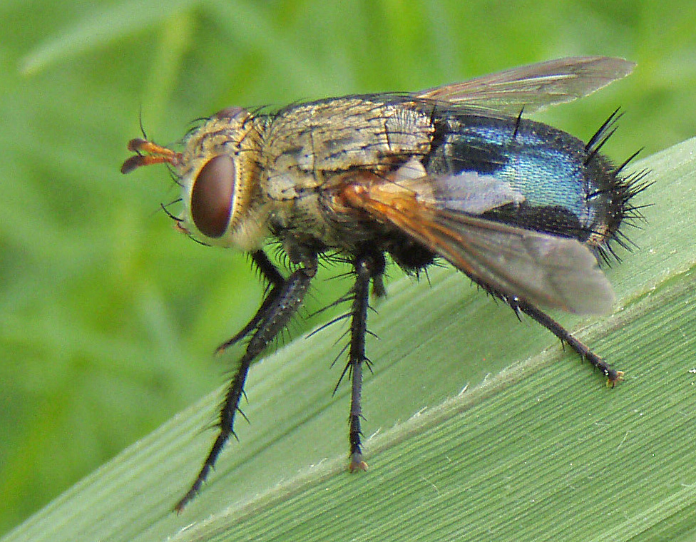 Tachinid (bristle fly)